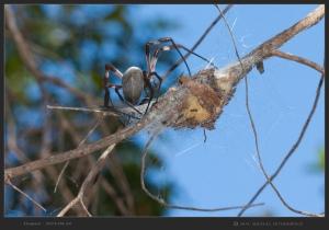 South-Australia-Natureteers-Spider-Araneae-Nephilidae-Nephila-edulis_4