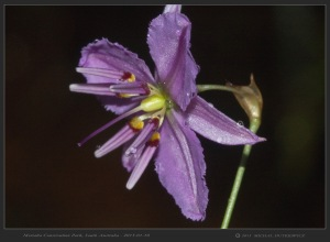 South-Australia-Natureteers-Asparagales-Asparagaceae-Dichopogon-Arthropodium-fimbriatum_6