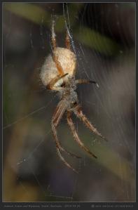 South-Australia-Natureteers-Orb-Weaver-Spider-Araneae-Eriophora-transmarina_2