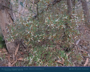South-Australia-Natureteers-Rosales-Rhamnaceae-Spyridium-vexilliferum_2