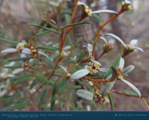 South-Australia-Natureteers-Rosales-Rhamnaceae-Spyridium-vexilliferum_3