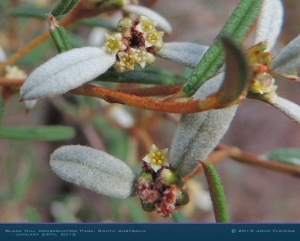 South-Australia-Natureteers-Rosales-Rhamnaceae-Spyridium-vexilliferum_1