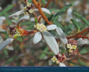 South-Australia-Natureteers-Rosales-Rhamnaceae-Spyridium-vexilliferum_4