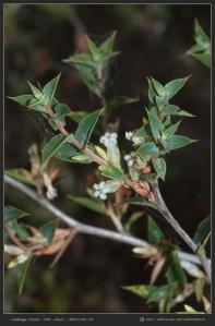 South-Australia-Natureteers-Ericales-Ericaceae-Leucopogon-rufus_3